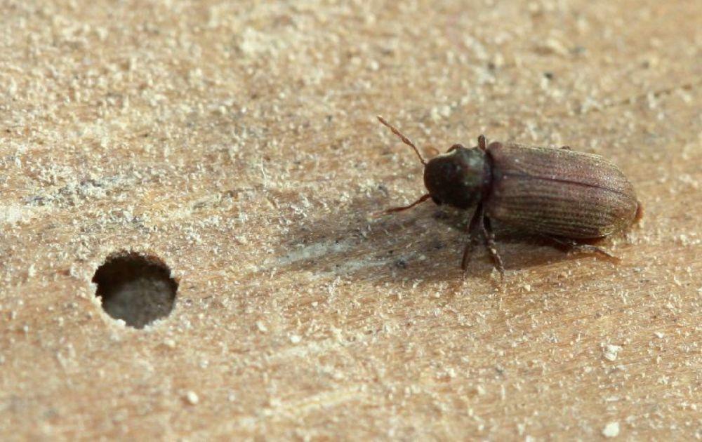 Средство от древесных жуков