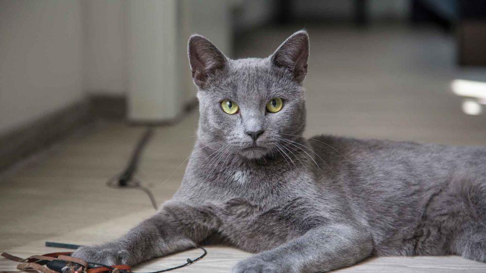 Какая порода кошек ловит