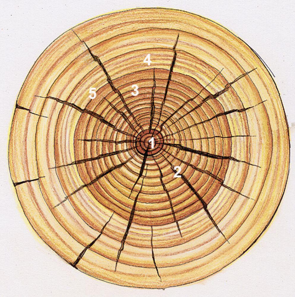 голубкина неплохим сердцевинные лучи древесины фото вещи довольно просто